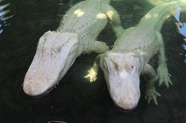 Cặp cá sấu bạch tạng chào đời từ bố mẹ bạch tạng