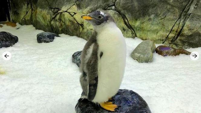 Cặp chim cánh cụt đồng tính gây sốt ở Úc có con gái