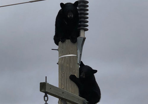 Cặp gấu đen ngủ quên trên cột điện cao 14 mét