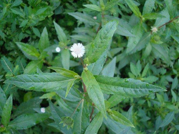 Cây cỏ mực, cây nhọ nồi là gì? Tác dụng của cây cỏ mực
