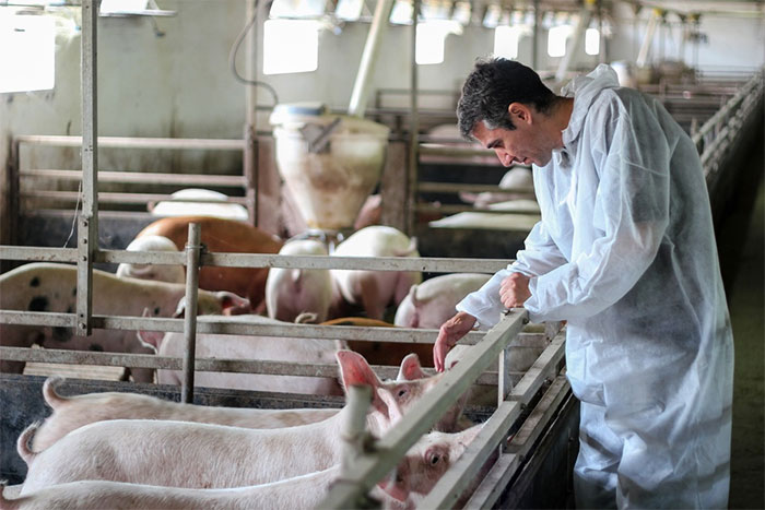 Cấy ghép da lợn biến đổi gene cho người?