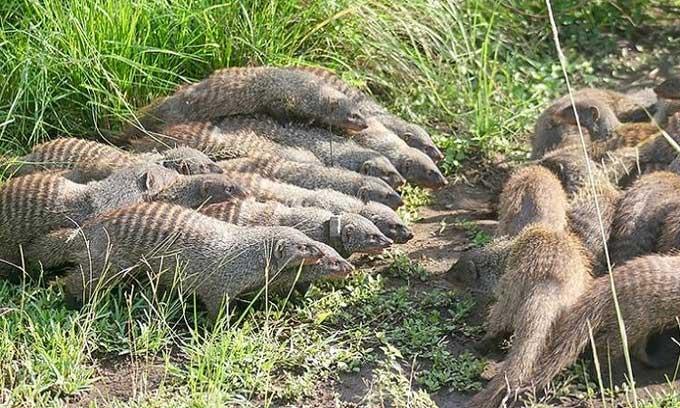 Cầy mangut cái gây chiến để giao phối với kẻ địch