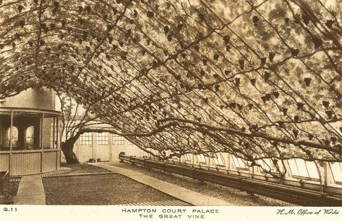 Cây nho lớn lâu đời nhất thế giới bên trong Cung điện Hampton Court