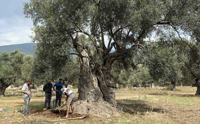 Cây olive 3.000 năm tuổi vẫn ra quả