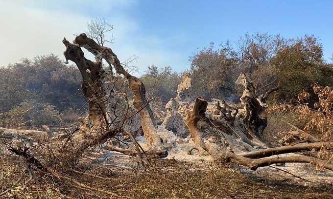 Cây olive cổ thụ 2.500 năm tuổi bị thiệu rụi trong đám cháy rừng kinh hoàng