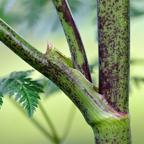 Cây sâm độc gây suy hô hấp xâm lấn nước Mỹ