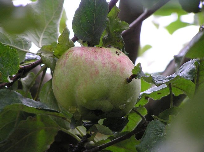 Cây táo của Newton gần 400 tuổi vẫn ra quả