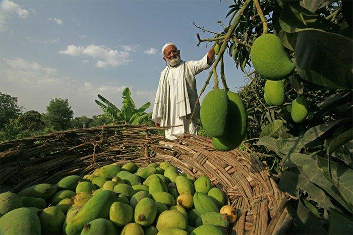 Cây xoài 7 sắc cầu vồng nổi tiếng khắp Ấn Độ