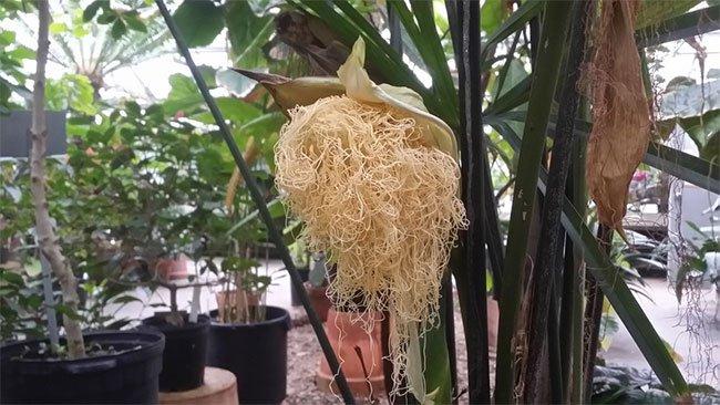 Chân tướng loài cây dị hoa nhìn như mỳ tôm vừa bóc