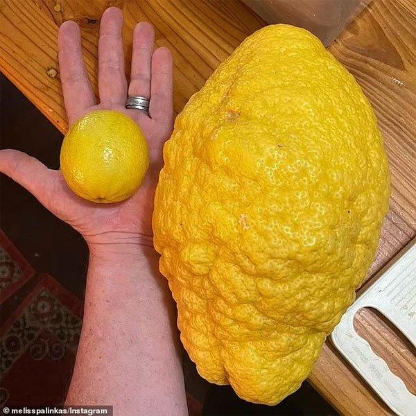 Chanh đột biến nặng 2,6kg và nguồn gốc thật sự phía sau
