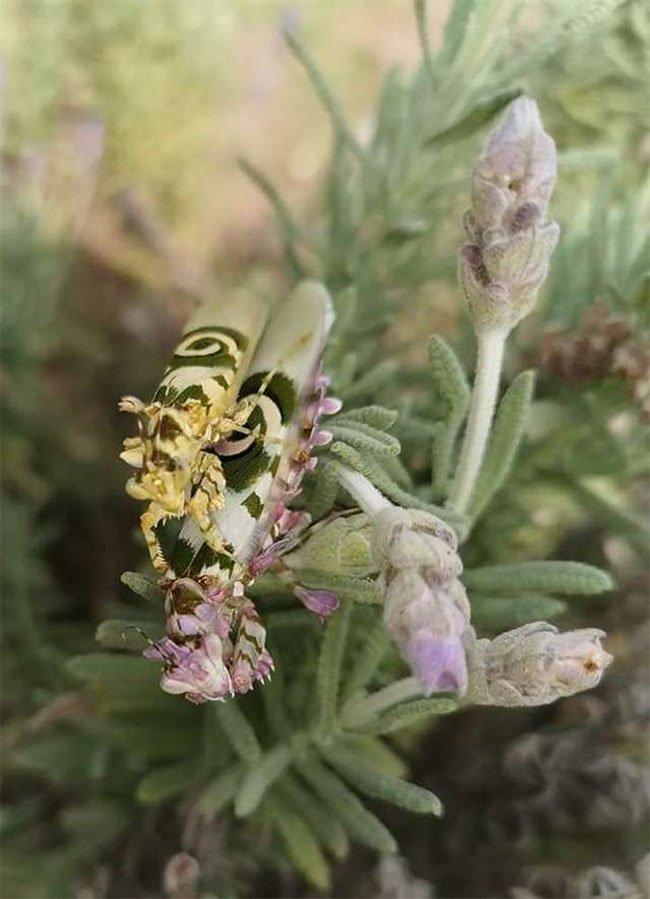 Chết mê chết mệt với con bọ ngựa đẹp nhất thế giới