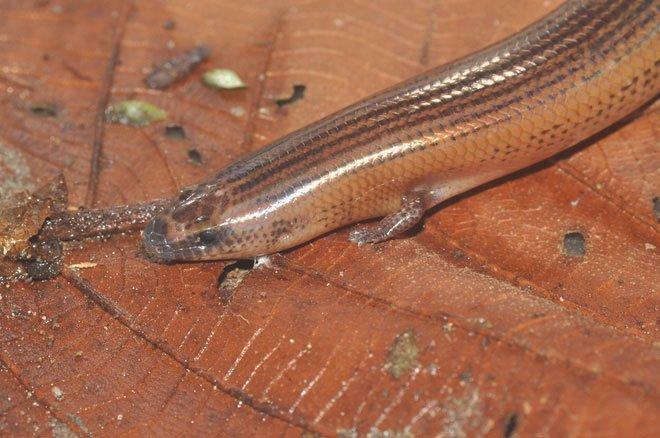 Chỉ cần tái kích hoạt gene, rắn mối Philippines sẽ có lại đôi chân bụ bẫm mà tổ tiên chúng đã bỏ đi