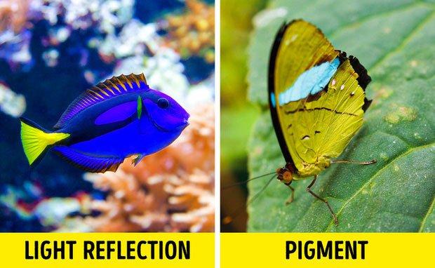 Chỉ tồn tại một loài vật duy nhất trên đời có màu xanh lam - vì sao màu này lại hiếm đến vậy?