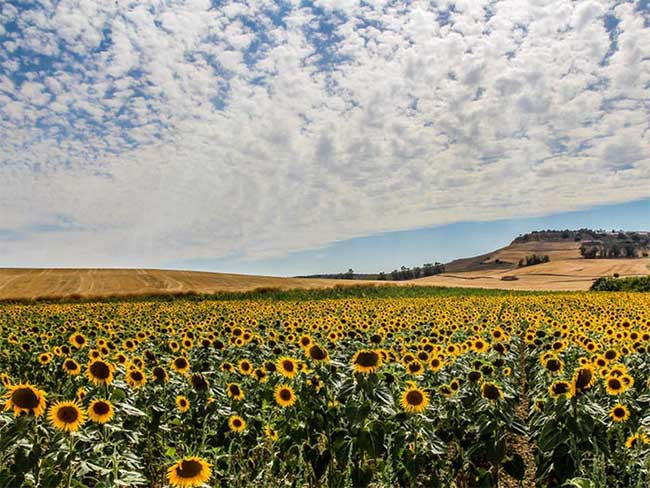 Chiêm ngưỡng vẻ lộng lẫy của những cánh đồng hoa đẹp nhất thế giới