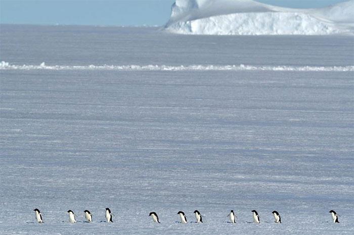 Chim cánh cụt ở Nam Cực hạnh phúc hơn khi băng biển tan
