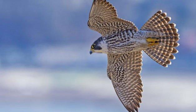 Chim cắt lớn - Loài chim săn mồi tốc độ cao
