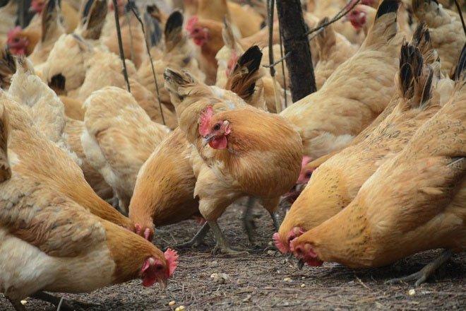 Chim hoang dã có thể là nguyên nhân gây cúm gia cầm ở Trung Quốc