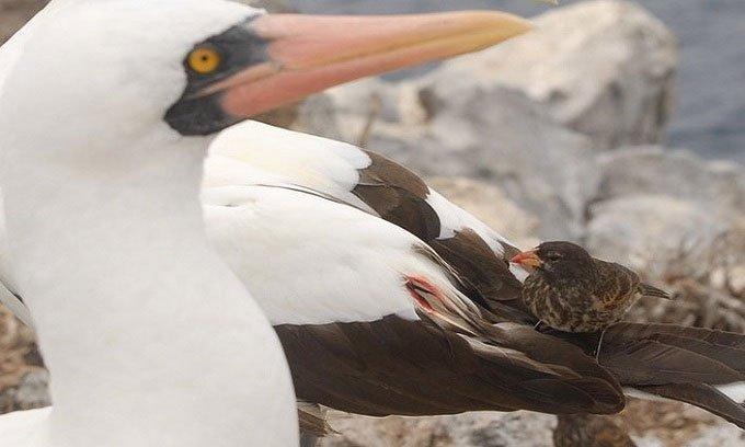 Chim sẻ ma ca rồng tiến hóa để sống sót trong môi trường khắc nghiệt