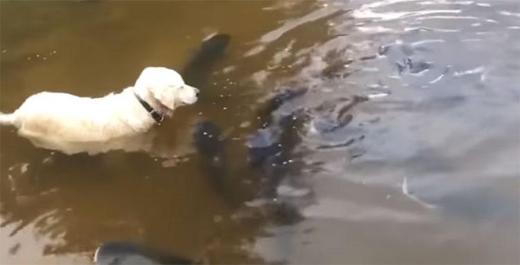Chó bắt cá khổng lồ tài tình ở hồ Mỹ