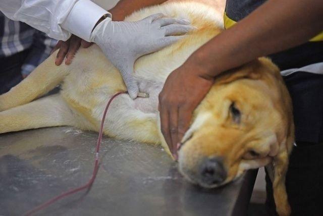 Chó, mèo, trâu, bò... có nhiều nhóm máu như con người không?