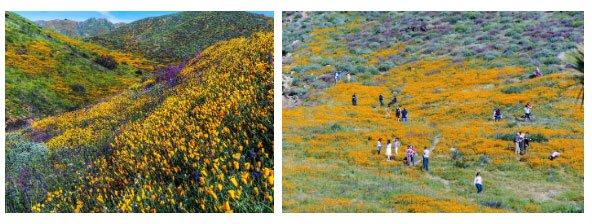 Choáng ngợp trước hiện tượng hoa siêu bung nở cực hiếm gặp ở sa mạc