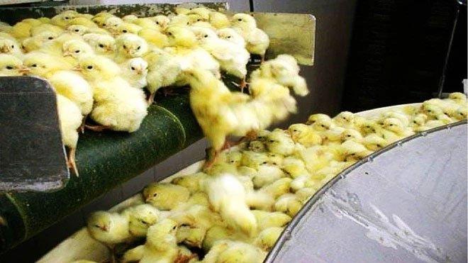 Choáng ngợp với quy trình sản xuất hàng triệu quả trứng và gà lấy thịt của các nước tiên tiến