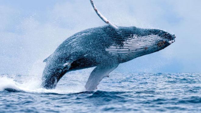 Chống biến đổi khí hậu: Một con cá voi đáng giá bằng hàng vạn cây xanh