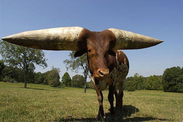 Chú bò lập kỷ lục với cặp sừng dài nhất thế giới