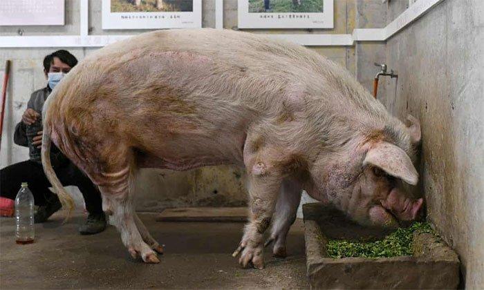Chú lợn sống sót thần kì sau trận động đất năm 2008 ở Tứ Xuyên chết già trong bảo tàng