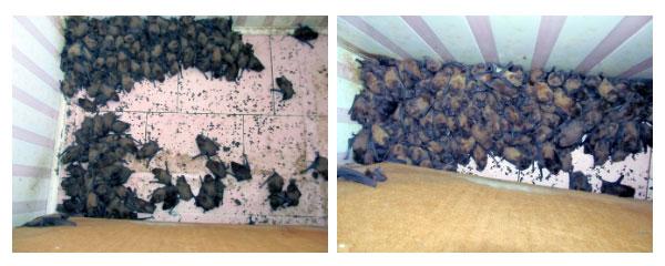 Chủ nhà khóc thét khi phát hiện 1.700 con dơi lúc nhúc, chiếm dụng ban công nhà để… hoan lạc