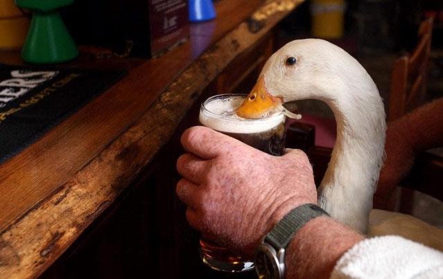 Chú vịt kỳ dị uống rượu bia như uống nước gây sửng sốt