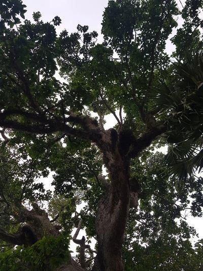 Chuyện ly kỳ quanh cây dầu rái trên 300 năm tuổi