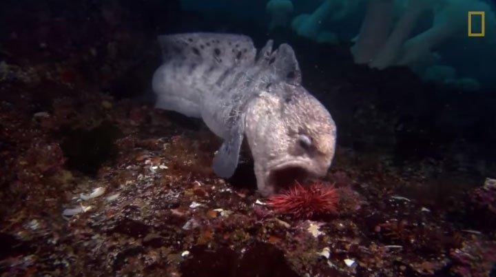"""Chuyện tình lãng mạn khó tin của """"quái vật đáy biển"""": Cá chình sói"""