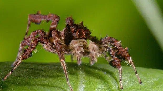 Chuyện về con nhện đi săn nhện: Thạo binh pháp như Gia Cát Lượng, đầy mưu hèn kế bẩn để săn mồi bằng mọi giá