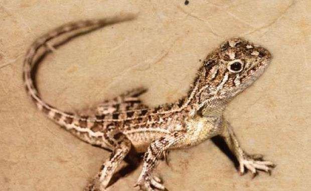 Có một loài rồng thực sự tồn tại trên Trái đất nhưng đã bị mất tích mà không ai biết