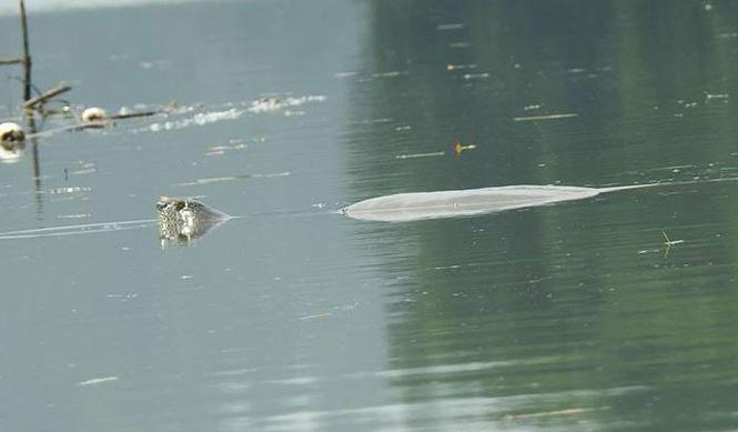 Có nhiều hơn một cá thể rùa Hoàn Kiếm ở hồ Đồng Mô