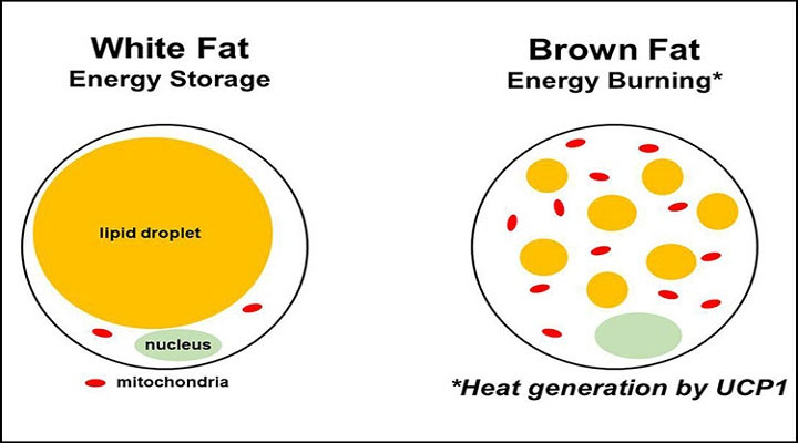 Có thể bạn chưa biết: Cơ thể người có chứa chất béo giúp chúng ta giảm cân
