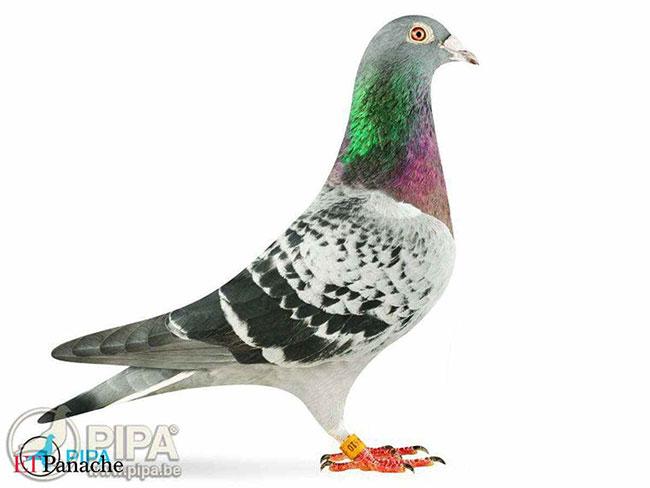 Con chim bồ câu giá hơn 1 triệu bảng Anh có gì đặc biệt?