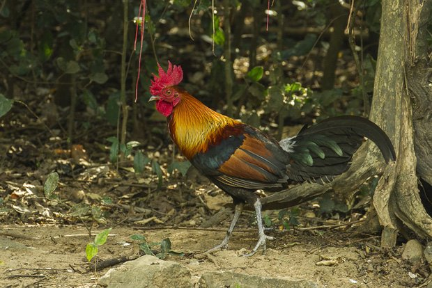 Con gà có trước hay quả trứng có trước? - giới khoa học đã tìm ra manh mối 9500 tuổi để trả lời câu hỏi này