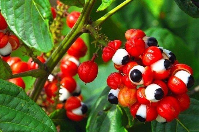 """""""Con ngươi Brazil"""": Loại quả thần dược cho sức khỏe, có giá trị hơn cả cà phê"""