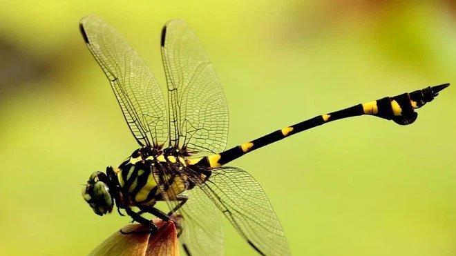 Con vật nặng chưa tới 1 gram có thể bay liên tục 6400km, băng qua cả Ấn Độ Dương