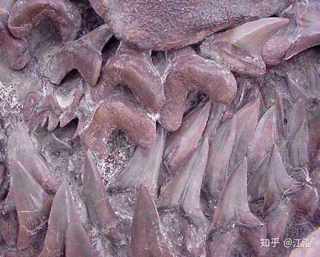Cretoxyrhina: Loài cá mập thời tiền sử còn đáng sợ hơn cả Megalodon