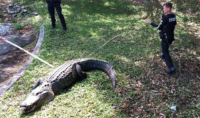 """""""Cụ"""" cá sấu 60 tuổi hung dữ khiến cảnh sát Mỹ kinh ngạc"""