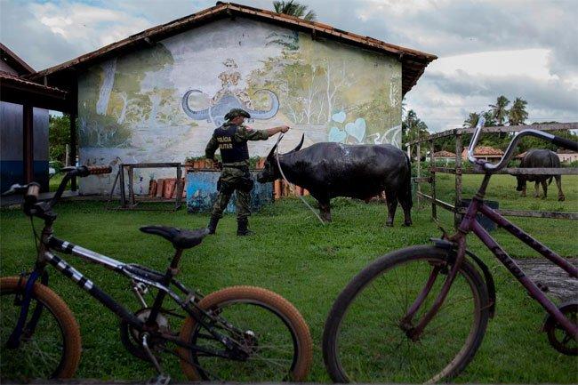 Cưỡi trâu tuần tra - Nét độc đáo của cảnh sát Brazil