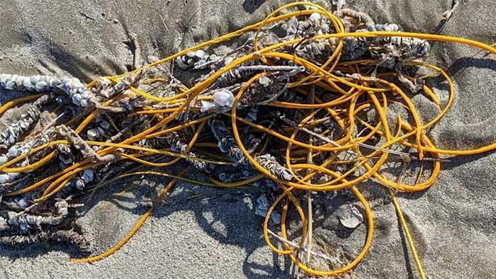 """""""Cuộn dây thừng"""" trên bãi biển thực ra là một sinh vật kỳ lạ"""