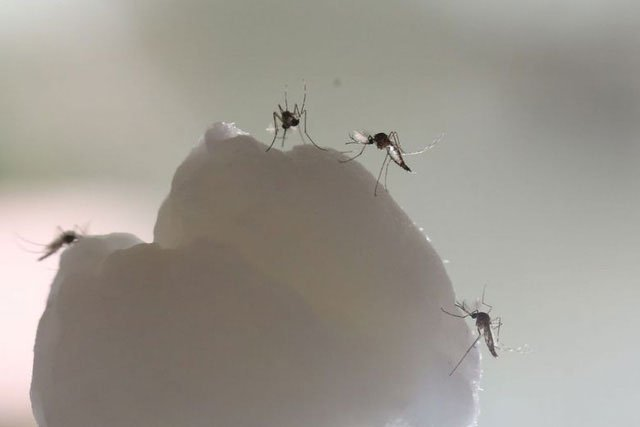 Đã biết chìa khóa giúp muỗi biết cách săn lùng con người