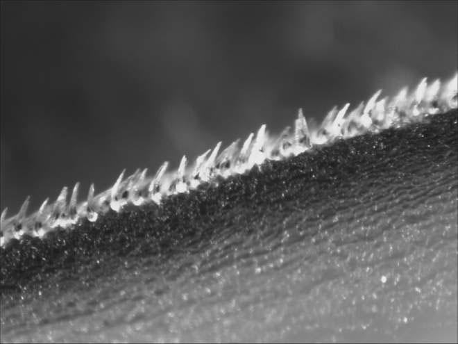 Da cá mập chứa đầy gai nhọn và đó là nỗi ác mộng với mọi mầm bệnh, thậm chí cả virus corona