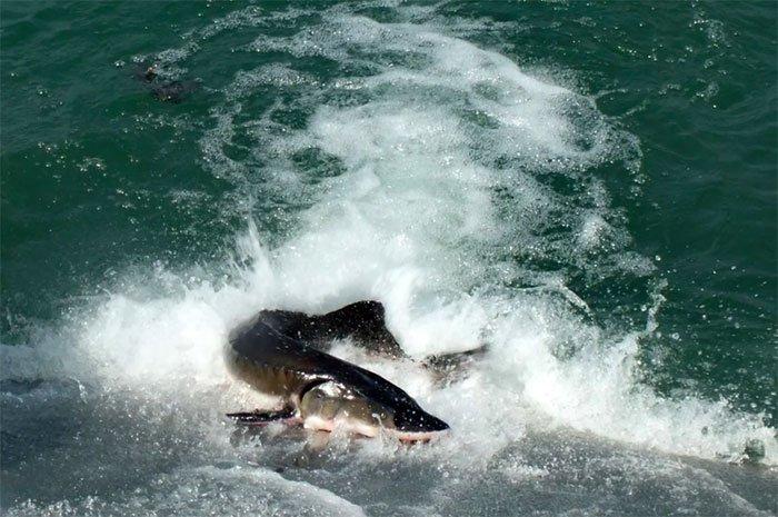 Đập Tam Hiệp đẩy cá tầm vào nguy cơ tuyệt chủng?