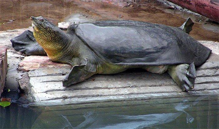 Đập thủy điện làm đổi dòng chảy, thủy quái Mekong bên bờ tuyệt chủng