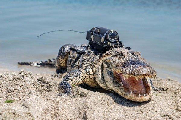 Đây là cách người ta gắn camera lên cơ thể động vật để quay phim tài liệu
